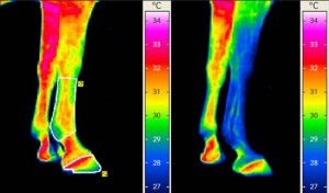 thermography-horse-legs