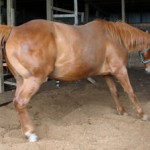 Gut bacteria probed for clues about laminitis and colic